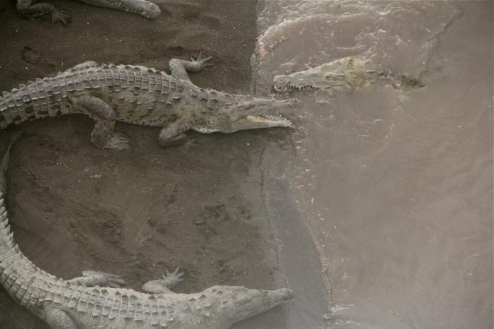 American Crocodiles.