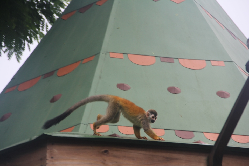 Capuchin Monkey. Manuel Antonio Town.