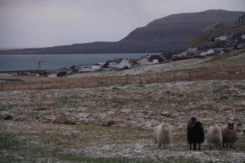 Torshavn Sheep