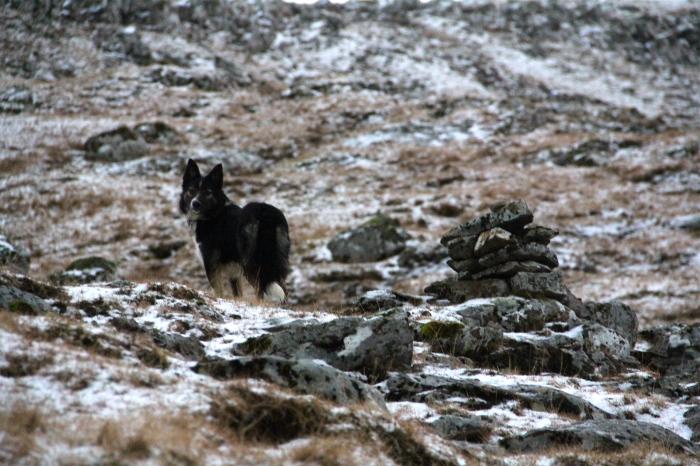 Torshavn Dog