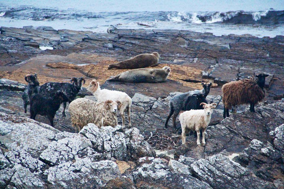Sheep and Seals 3